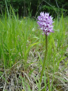 12.orchis